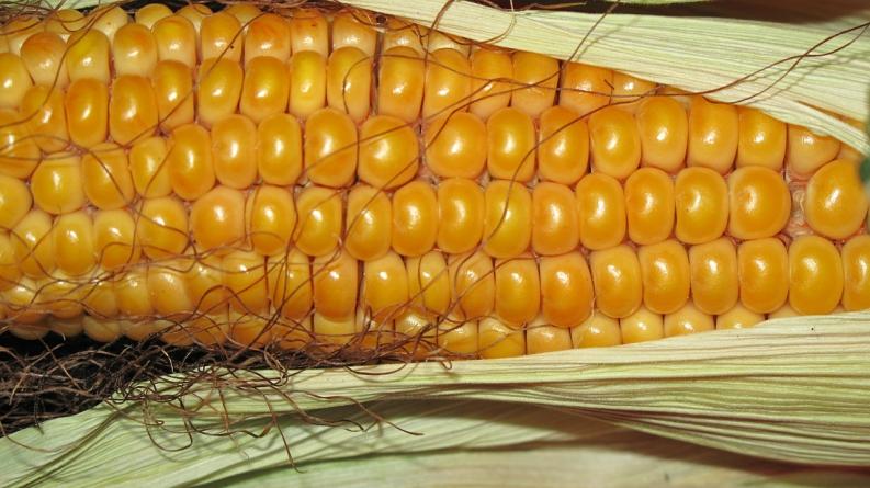 Займ на карту Кукуруза — надежный способ получить кредит мгновенно
